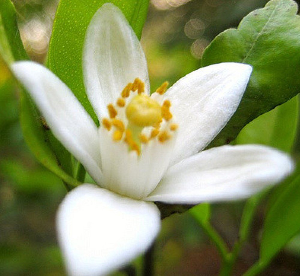 A Beautiful Fragrant Orange Blossom