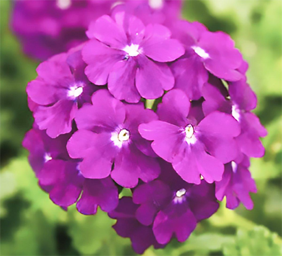 A Beautiful Purple Verbena