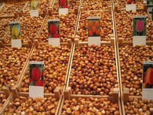 Tulip Bulbs For Sale Holland