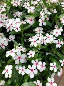 A Catharanthus White Pepermint