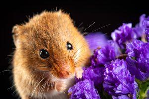 Mouse Chews On Lavender Plant