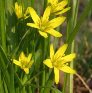 Gagea lutea The Yellow Star of Bethlehem