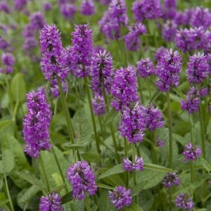 Stachys Hummelo Red Lavender Spikes