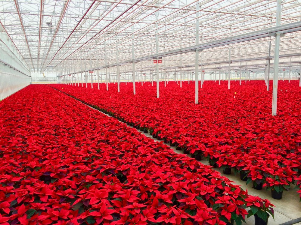 Experimental Red Poinsettias