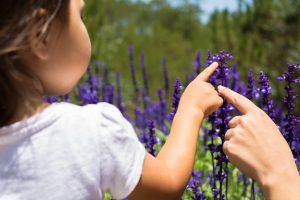 Calming Effects Of Lavender