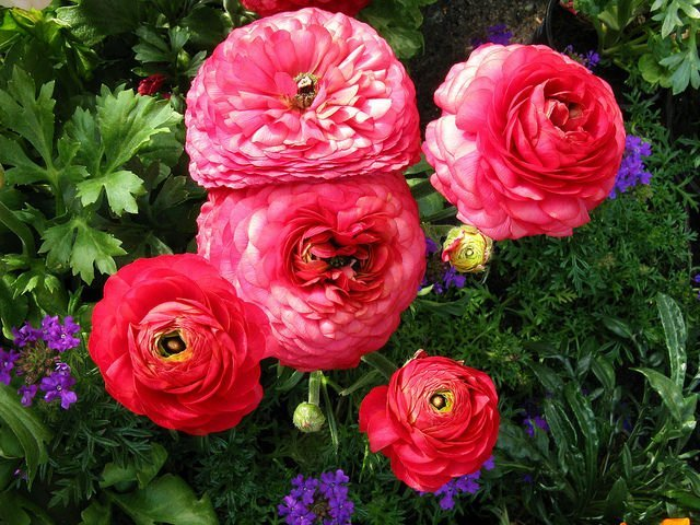 Beautiful pink and red ranunculus