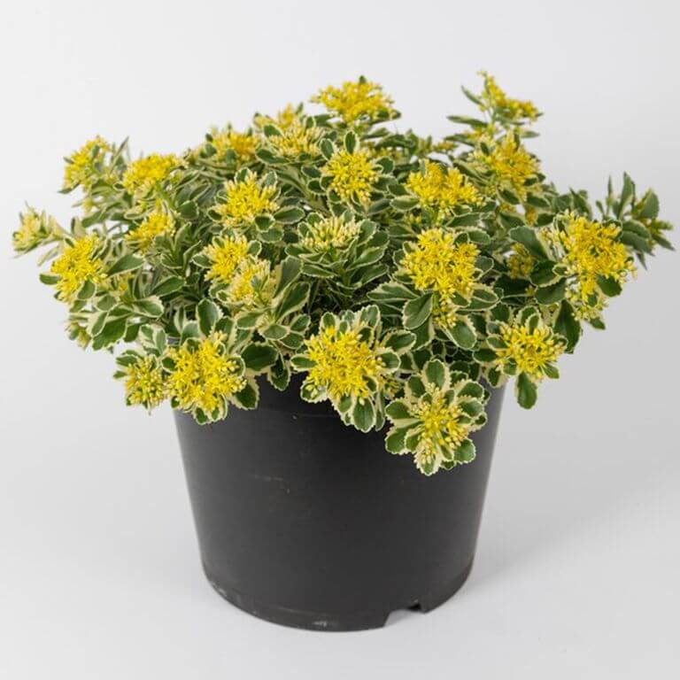 A Potted Sedum Takesimense Atlantis