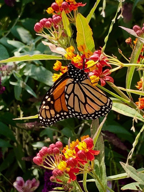 bloodflower milkweed