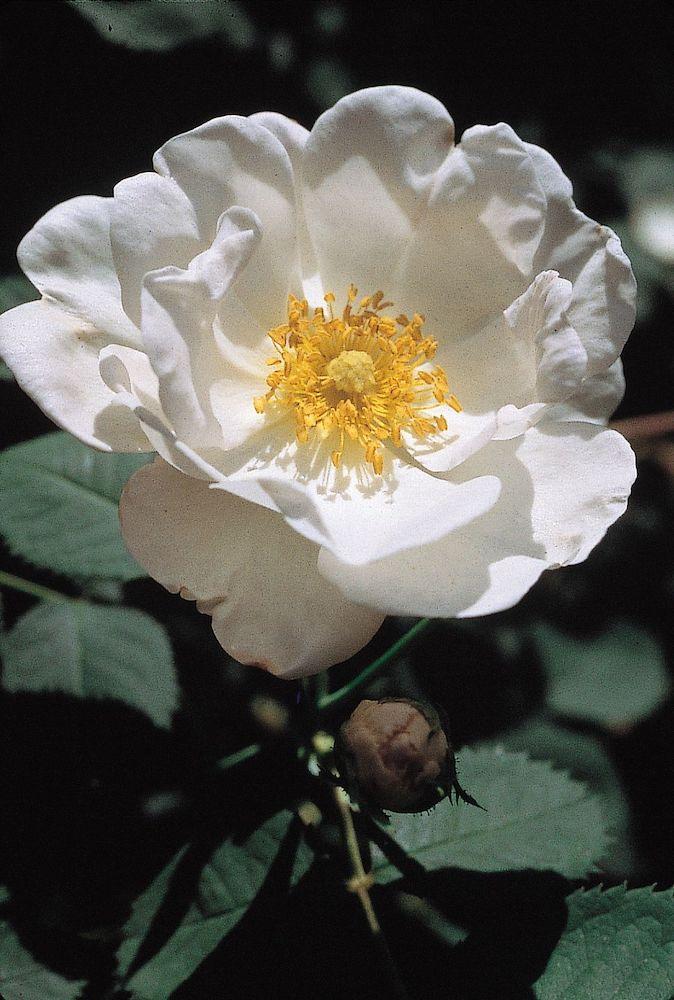 ARS Roses Alba