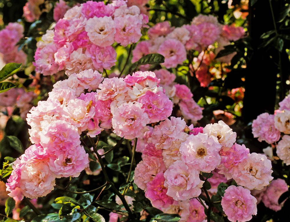 boursault rose