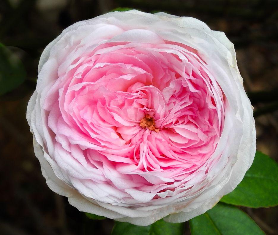 centifolia cabbage rose