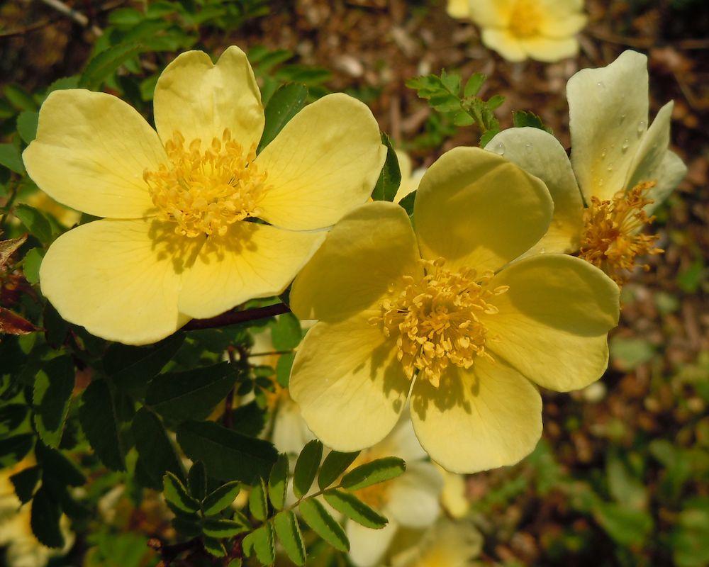 species rose xanthina