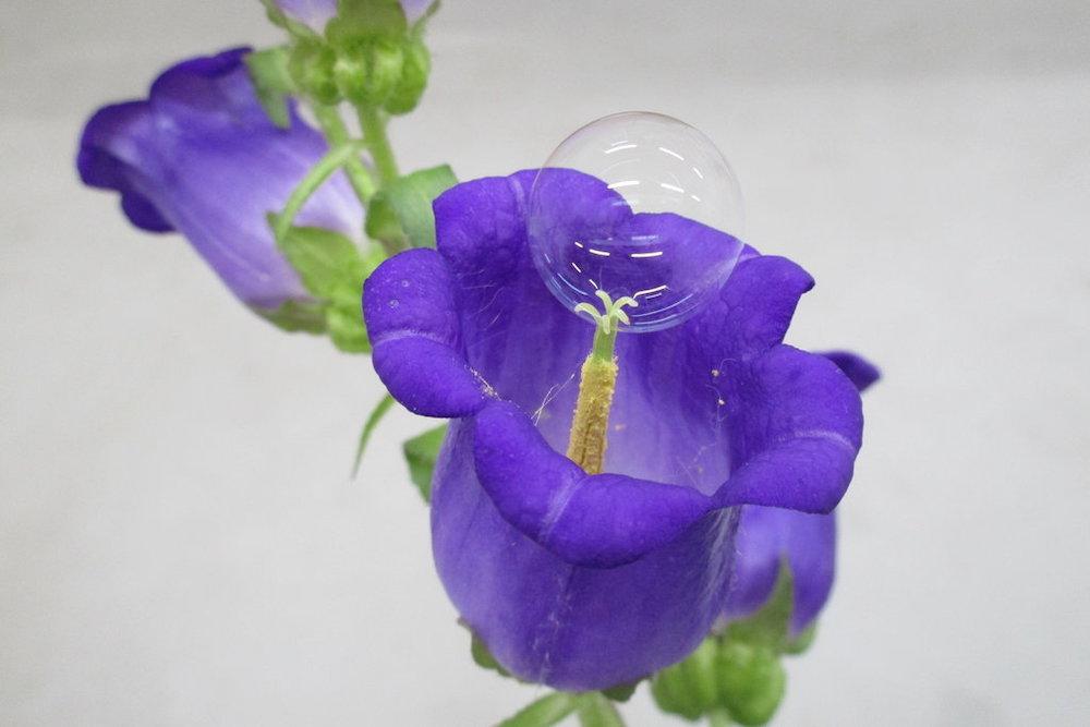 soap bubbles campanula Eijiro Miyako