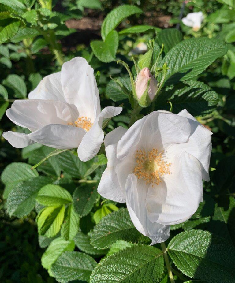 ancient roses rosa rugosa alba